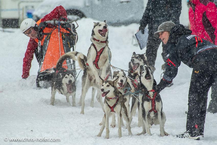 Hundeschlittenrennen Werfenweng 08.01.2017 Foto: Chris Hofer Bild zeigt: aufgeregte Hunde beim Start