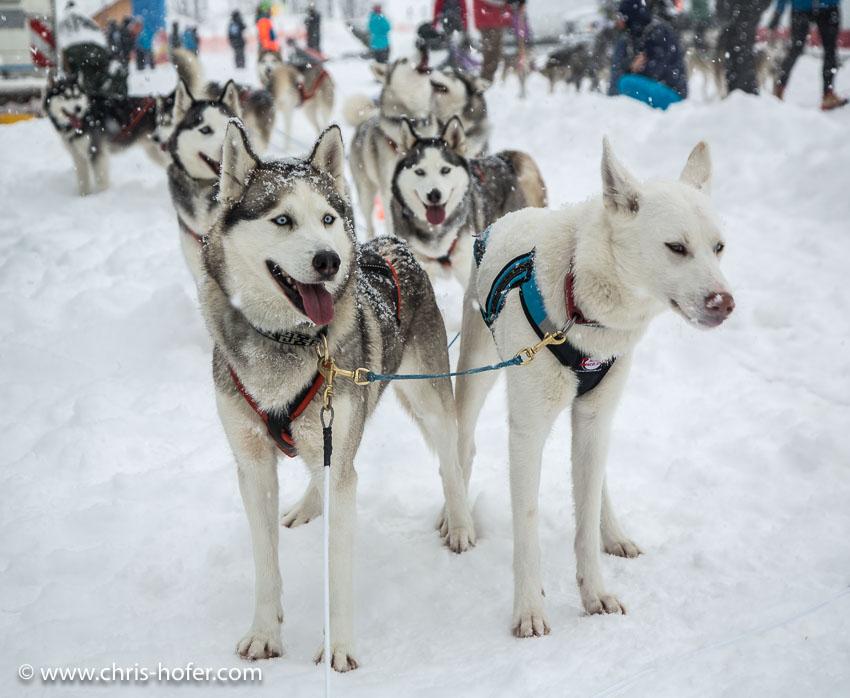 Hundeschlittenrennen Werfenweng 08.01.2017 Foto: Chris Hofer