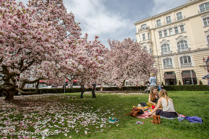 Magnolien am Makartplatz in Salzburg, 2016-04-05, Foto: Chris Hofer